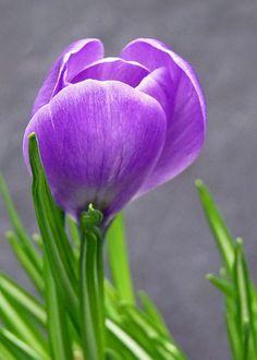 ✿ Purple Crocus