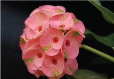 Euphorbia X millii BY NONGNOOCH PATTAYA TROPICAL GARDEN. #GARDENING #PLANTS #BOTANICAL #TRAVEL