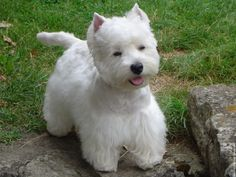terrier | WESTIE (West Highland White Terrier) | perroadoptagato (blog en ...