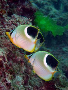 Saddle Butterflyfish(Chaetodon ephippium)