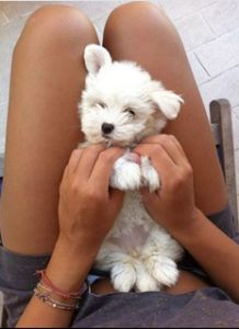 teacup maltese! this will be my next pup