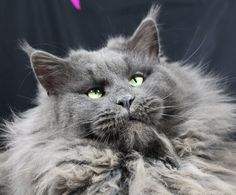 "Maine Coon boy ""Spessarttigers Dragon"""