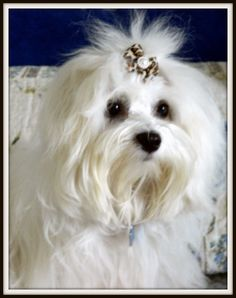 Maltese Dog perfect whiteness that is what I used to call tara our maltese god bless her soul gave us lots of joy, laughter, companionship, love and loyalty miss her alot www.capemaysbest.com