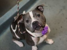 TO BE DESTROYED 12/09/15  ** MULTIPLE TIMES ON LIST ** A volunteer writes: This lady is quite a Diamond in the ruff (rough). What an adorable girl with the kindest eyes. She was a treat to walk and did not pull on the leash at all. She also knew how to