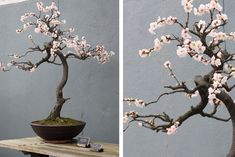 pink plum blossoms at brooklyn botanic garden