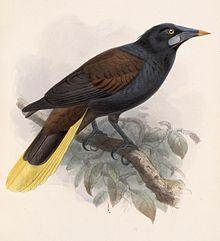 Psarocolius guatimozinus 1902.jpg