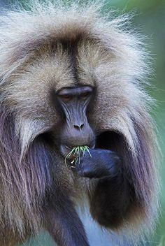 primates, Ethiopia ✿⊱╮