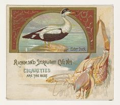 Eider Duck, from the Game Birds series (N40) for Allen & Ginter Cigarettes