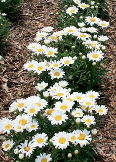 Summer Flowers - Shasta Daisy | Read more: http://whatwomenloves.blogspot.com/2015/07/summer-flowers-top-ten-list-for-your.html