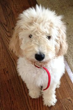 Goldendoodle!! - this is what our Ginger must have looked like as a pup.