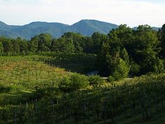 Crescent Mountain Vineyards, Northern Greenville County, South Carolina.
