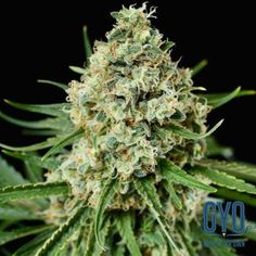 Dinafem Critical Plus 2.0 Feminised Weed Seeds: A strengthened, more moisture-resistant version of the Critical + with the same big buds and rivers of resin. Dinafem's Critical + 2.0 is an extremely popular strain. Buy these seeds if you love stinky plants with yields always in excess of 600 g/m2.