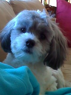 My shih-poo looks at me like this too. Shih Poo Puppies, Cute Puppies, Cute Dogs, Animals For Kids, Cute Baby Animals, Animals And Pets, Dog Grooming Styles, Grooming Dogs, Puppy Haircut