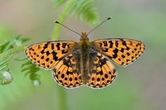 Pearl-bordered Fritillary(Boloria euphrosyne) photographed by Dave Sims at Oakley Wood, Gloucestershire, UK