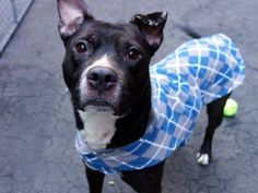 Pulled by Heaven Can Wait Rescue-TO BE DESTROYED - 04/02/15 Manhattan Center -P My name is SINBAD. My Animal ID # is A1030947. I am a male black and white am pit bull ter. The shelter thinks I am about 4 YEARS old. I came in the shelter as a STRAY on 03/21/2015 from NY 10128, owner surrender reason stated was STRAY. https://www.facebook.com/photo.php?fbid=982965161716363