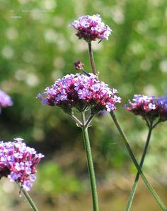 Verbena bonariensis = ijzerhard, bloeit lilapaars 7 – 9 kan .50- 1.50 hoog worden, is luchtig vertakt, houd van de zon en kan op alle grond.