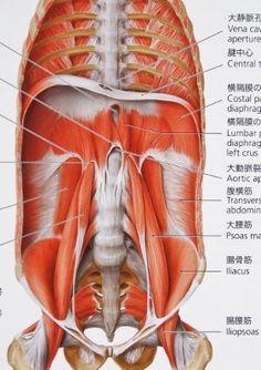 【質問】呼吸のとき横隔膜と骨盤底の間にある内臓はどうなるの?