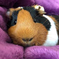 Cochon d'Inde posée Guinea pig