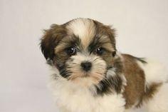 havanese shih tzu mix | Teddy bear puppy, a baby Maggie