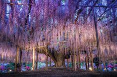 The 143 years old Wisteria tree / Ashikaga Flower Park // Tomita Japan