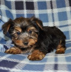 yorkie-puppy-for-sale-asher.jpg