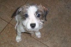Scampi is an adoptable Terrier Dog in Ohatchee, AL. Scampi has the cutest little wire haired face. He has the best time playing with his borthers and sister. When he is being held he just snuggles up ...
