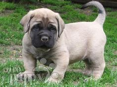 I cant wait til we get one of these little guys! English Mastiff Puppy
