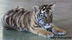 cute tiger baby# #babytiger  #cutetiger  #littletiger  #sweettiger  #tiger  #tigerphoto #babytigerimages  #babyanimals  #cuteanimals  #littleanimals  #sweetanimals