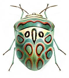 African bug, sphaerocoris annulus, also known as the Picasso Shield Bug.                                                                                                                                                     Más