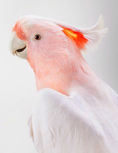 'Matilda,' (Major Mitchell's Cockatoo) Beautiful Portraits Of The Wild Birds Of Australia Reveal Their Expressive Faces Pretty Birds, Love Birds, Beautiful Birds, Animals Beautiful, Cute Animals, Feeling Beautiful, Hello Beautiful, Tropical Birds, Exotic Birds