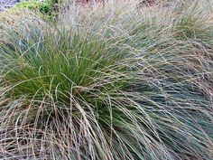 Carex secta 12 Commercial Landscaping, Grasses, Herbs, Landscape, Plants, Lawn, Scenery, Grass, Herb