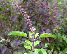 Tulsi is rich in antioxidant and renowned for its restorative powers, Tulsi has several benefits:    Relieves stress / adaptogen  Bolsters immunity  Enhances stamina  Provides support during cold season  Promotes healthy metabolism  A natural immuno-modulator
