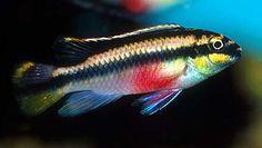 Kribensis Cichlid (Pelvicachromis pulcher)