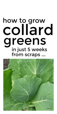 Learn how to grow collard greens from kitchen scraps in just 5 weeks for a bumper crop of leafy greens in your new vegetable garden. These simple gardening tips for beginners will help you grow your own vegetables fast. #vegetablegarden #vegetablegrowing #growingvegetables #collardgreens Vegetable Gardening, Organic Gardening, Gardening Tips, Growing Vegetables At Home, Basil Plant, Growing Strong, Starting A Vegetable Garden, Soil Improvement, Collard Greens