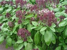 Pase Seeds - Herb Seeds - Basil Oriental Breeze Seeds, $2.99 (http://www.paseseeds.com/herb-seeds-basil-oriental-breeze-seeds/)