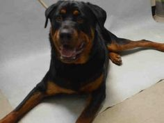 06/29/2016 STILL THERE!!! 06/19/2016 SUPER URGENT ADOPT HUGE YOUNG DOG MACHO - BROOKLYN CENTER NYC TO BE DESTROYED - A1077248 MALE, BLACK / TAN, ROTTWEILER MIX, ONLY ONE YEAR OLD, Reason TOO BIG?!  Intake condition EXAM URGENTLY REQUIRED by an interested person  to determine health and temperament before adoption can take place. Intake Date 06/12/2016, From NY 11236, past DueOut Date06/15/2016.