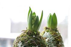 Hyacintbollar jul blommor tips ide inspiration pynt