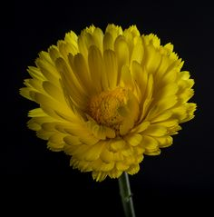 Bill Gracey 15 Million Views posted a photo:  This flower was growing alongside the road in our rural neighborhood so I picked it and brought it home to exploit where I could control the light and not have to kneel down.  Lighting: The main light was a Yongnuo strobe in a 24 inch gridded soft box at camera left, and I added some back lighting with another Yongnuo strobe in a Rogue grid behind the flower at camera right. The strobes, and my tripod mounted camera, were triggered by a Yongnuo…