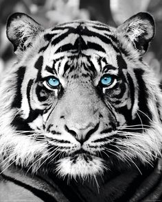 Tiger Face Tattoo, Tiger Tattoo Design, Majestic Animals, Animals Beautiful, Cute Animals, Exotic Animals, Wild Animals, Tiger Wallpaper, Animal Wallpaper