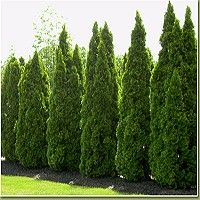 The Emerald Green Arborvitae, Thuja occidentalis 'Smaragd', also known as Emerald Green Thuja is a fast-growing, hardy arborvitae. It would make a superb privacy hedge along your property line or beside your backyard pool. Backyard Trees, Backyard Plants, Backyard Privacy, Backyard Fences, Pool Plants, House Plants, Backyard Kids, Green Plants, Landscaping Along Fence