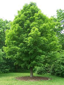 Sugar Maple: Genus: Acer, Family: Sapindaceae, Order: Sapindales; native to the hardwood forests of northeastern North America; primary source of maple syrup