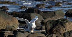 Snowy Owl photographed at Rye Harbor State Park  NH Marsha DiNardo M&M Photography December 2015