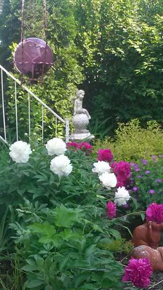 Peony's May 2014..to the right are hardy geranium and spirea...in back are burning bush and altheas