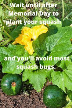 Keeping Squash Bugs Off Squash Plants