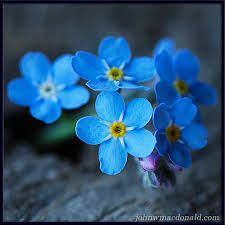 Little forget me nots flowers - Google Search