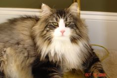 Handsome Thor, Norwegian Forest Cat.