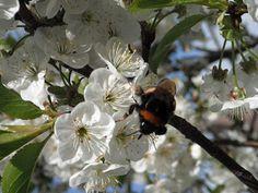 Voorjaar, onze kersenboom in bloei.
