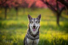 Vlk v broskovém sadu Dog Photography, Husky, Corgi, Animals, Corgis, Animales, Animaux, Animal, Animais