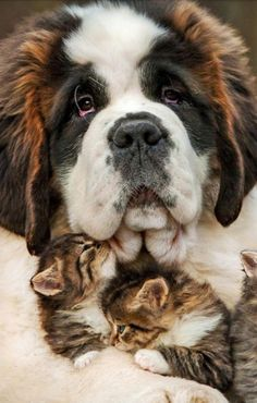 Things that make you go AWW! Like puppies, bunnies, babies, and so on. Cute Baby Animals, Animals And Pets, Funny Animals, Baby Pandas, Baby Pugs, Wild Animals, Big Dogs, Cute Dogs, St Bernard Dogs