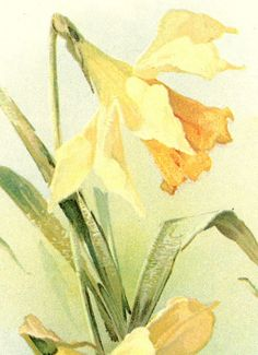"""Daffodils"" watercolor print by Catherine Klein"